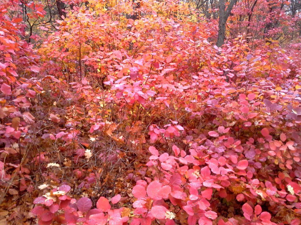 куст осенью