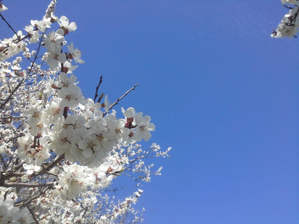 небо абрикосы цветут