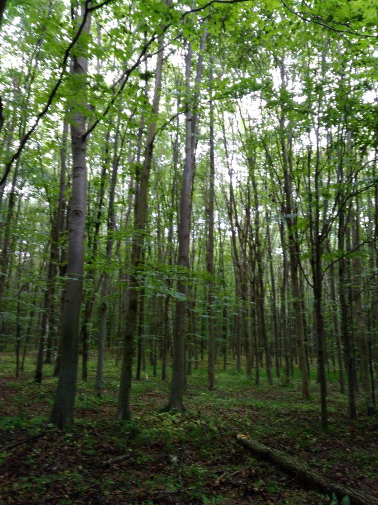 вксна деревья