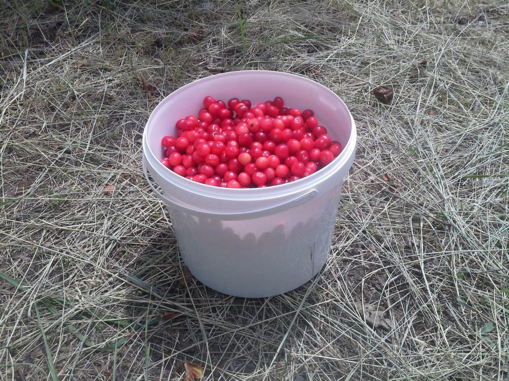 ведро ягоды черешни