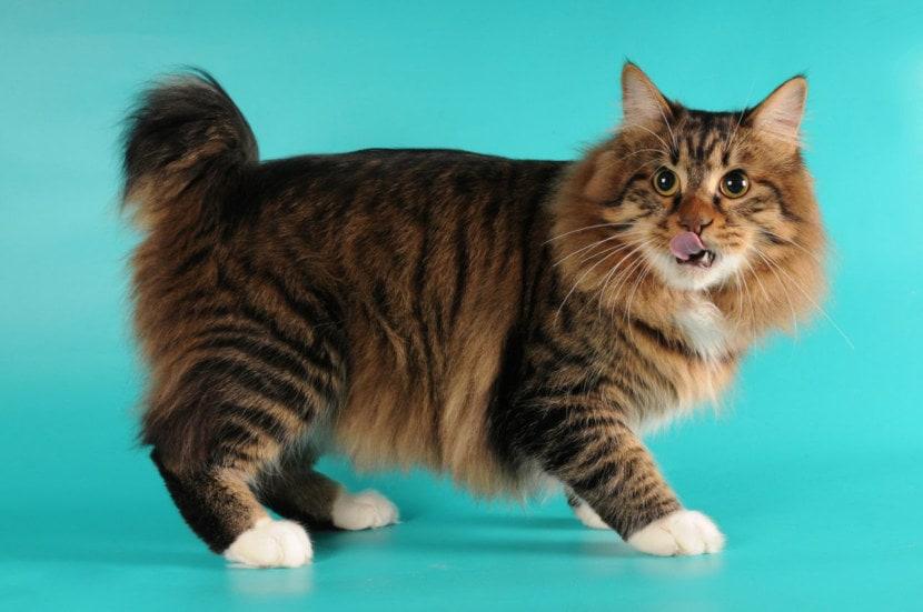 Необычные кошки с коротким хвостиком