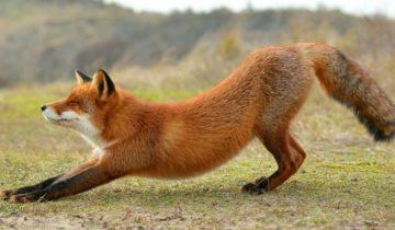 Притча о хитром лисе